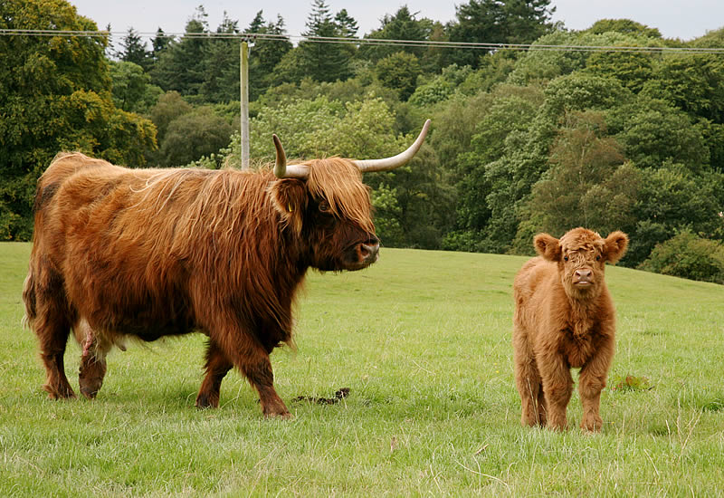 Highland Cattle - Williamwood Farm