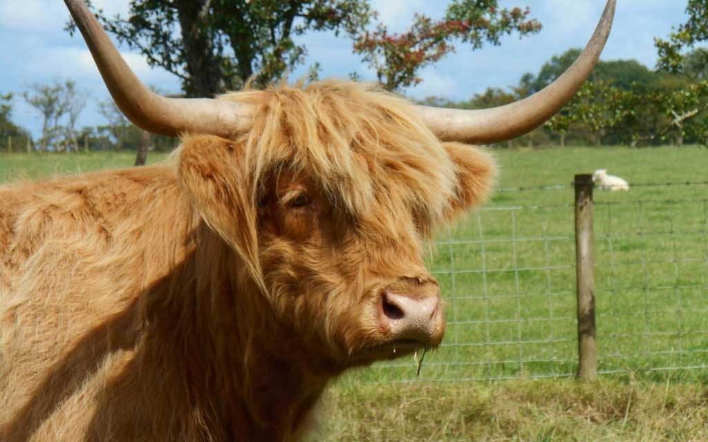 Highland Cattle Williamwood Farm